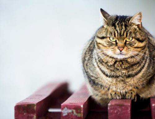 What Pet Owners Need to Know About Pet Obesity and Weight Management
